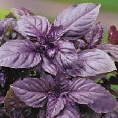 Violet Rubin Basil - Pot Plant 10cm  - Orto mio