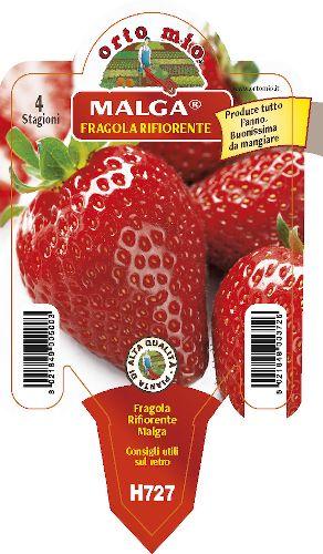 �terblommande jordgubbar. 4 s�songer medio-precoce Malga - Orto Mio