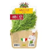 Dill - Pot Plant 14 cm -  Orto mio