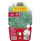 Helychrysium or Curry Plant -  Pot Palnt 14 cm - Orto mio