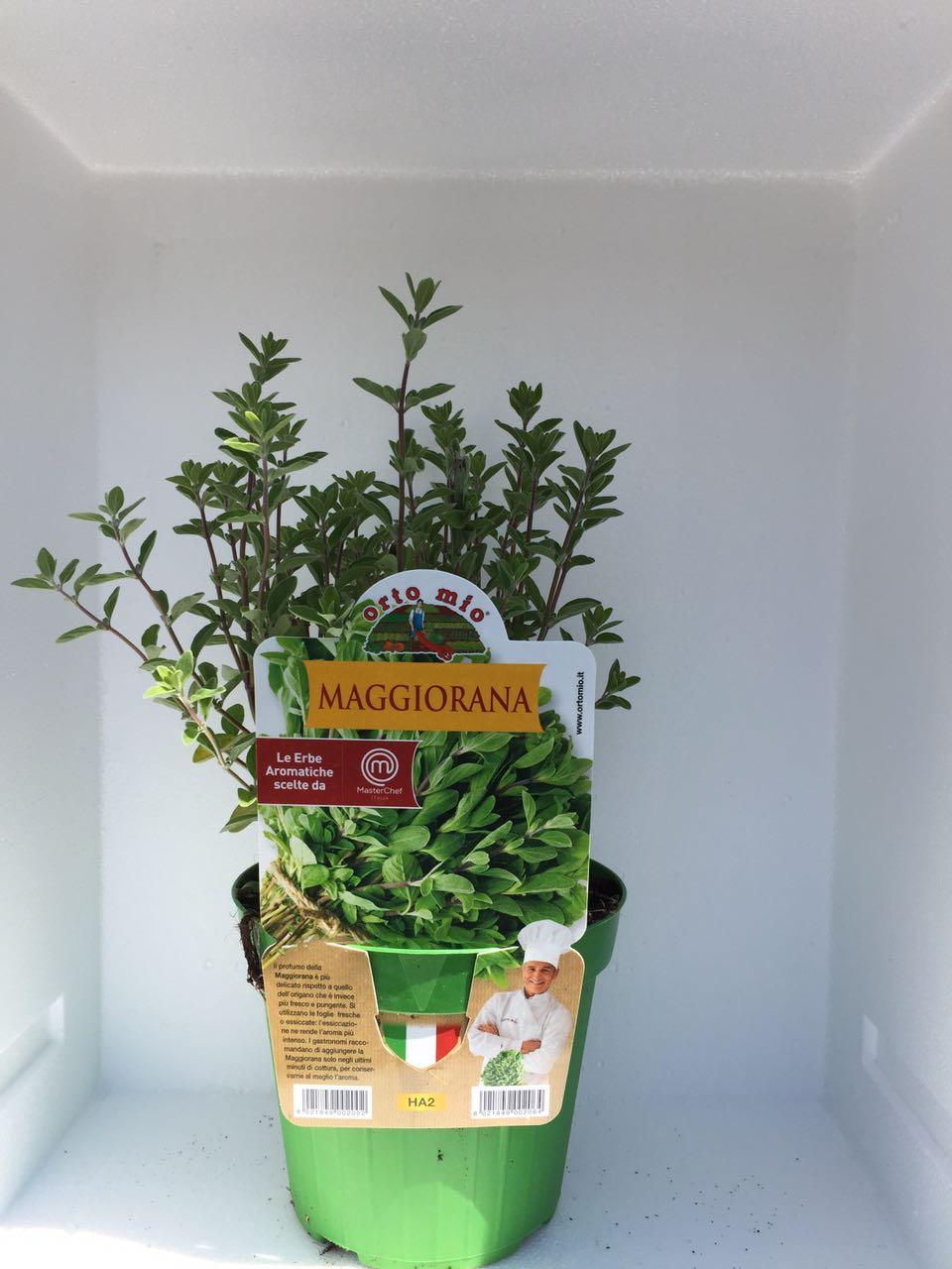 Marjoram -  Pot plant 14 cm - Orto mio